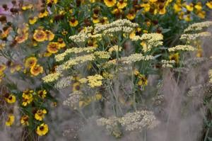 Achillea vaste planten mooi