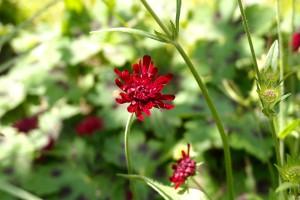Knautia macedonica vaste plant
