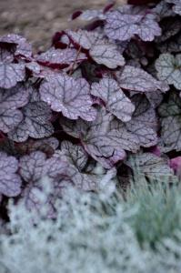 heuchera purperklokje vaste planten