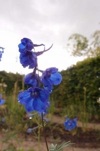 Delphinium bloem blauw