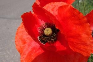 Papaver rode bloem opzet van een border kleuren combineren