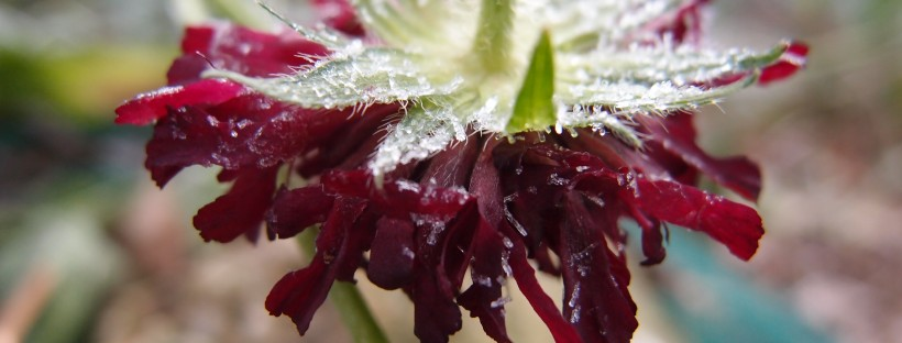 Knautia macedonica winter