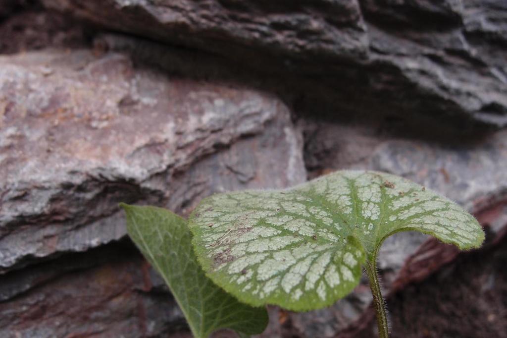 brunnera jack frost tuin opbouw van een border