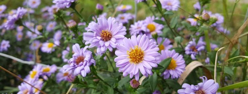 aster lila paars bloem