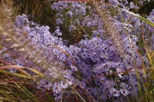 aster pennisetum vaste planten siergrassen