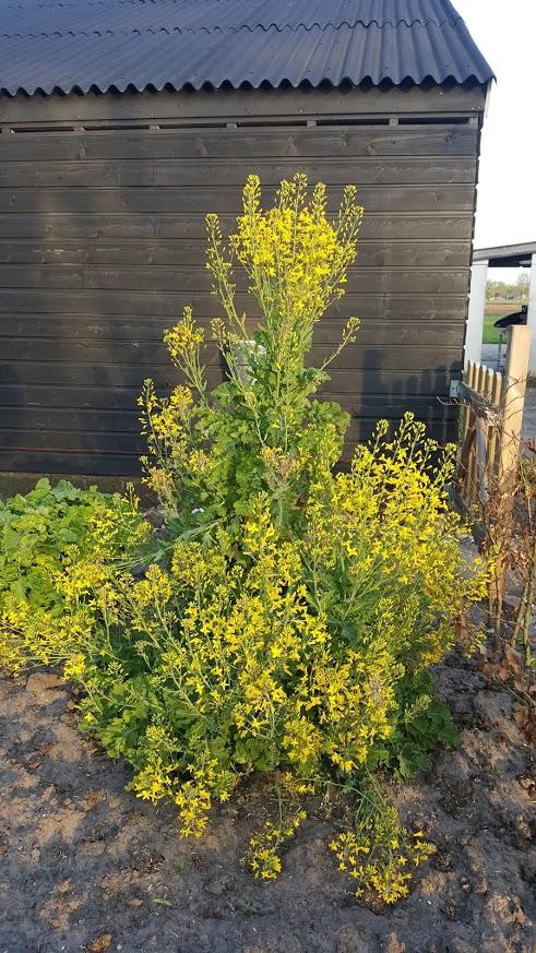 Doorlevende boerenkool bloemen