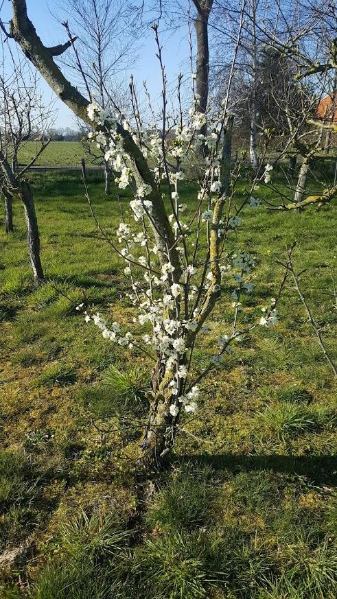 Oude fruitboom