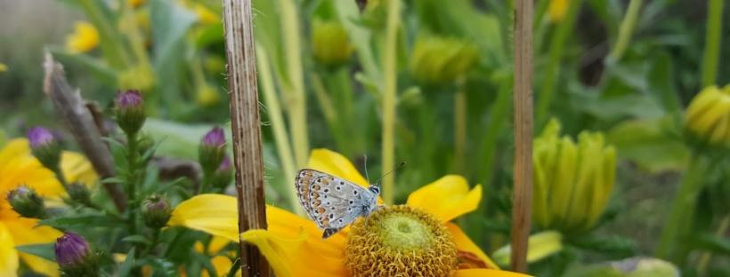 Natuur in de tuin rudbeckia