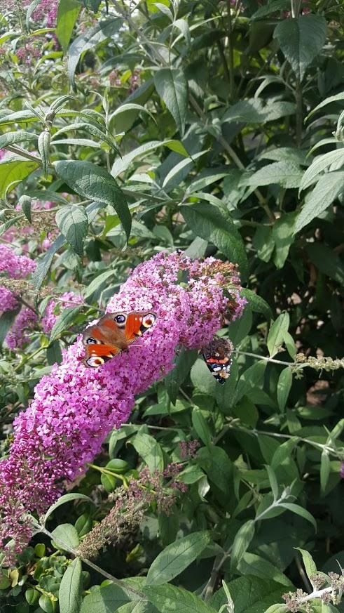 Vlinderstruik en dagpauwoog