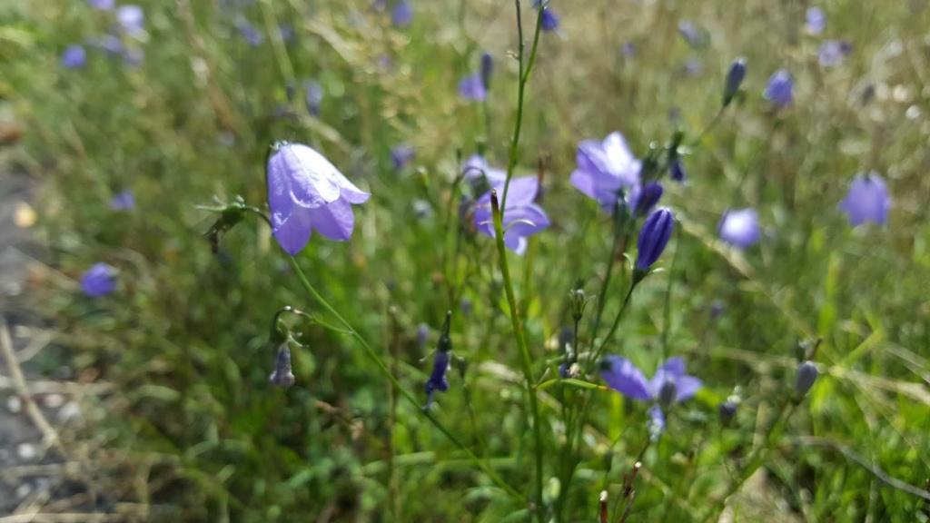 Wilde bloemen grasklokje
